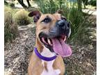 Adopt LILY ROSE a Pit Bull Terrier, Mixed Breed