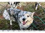 Adopt *BLUE* a Gray/Silver/Salt & Pepper - with White Husky / Mixed dog in