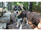 Adopt Elias a Black - with Tan, Yellow or Fawn Pomeranian / Husky / Mixed dog in