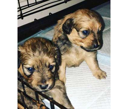 MINI Aussiedoodles is a Aussiedoodle Puppy For Sale in Santa Cruz CA