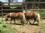 Ponies and more Ponies in a Feed Lot need help