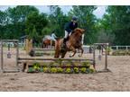 Registered Irish Draught Sport Horse