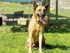 Adopt ANTHONY a Tan/Yellow/Fawn - with Black German Shepherd Dog / Mixed dog in