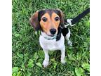 Adopt Lucky a Tricolor (Tan/Brown & Black & White) Beagle / Mixed dog in Bethel
