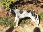 Adopt Mulligan (Mully) a Gray/Blue/Silver/Salt & Pepper Bluetick Coonhound /