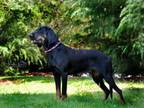 Adopt NATALIE a Black and Tan Coonhound