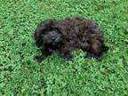 Adopt Carter a Cavalier King Charles Spaniel, Poodle