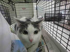 Adopt SIDNEY a White (Mostly) Domestic Longhair / Mixed (long coat) cat in Los