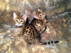 Wowy Bengal Kittens 4 sale