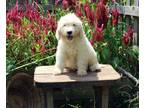 Affable Golden retriever puppies available