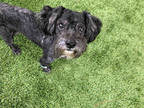 Adopt ASHER a Black Poodle (Miniature) / Mixed dog in Fort Myers, FL (26264267)