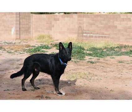 German shepherd is a Male German Shepherd Puppy For Sale in Casa Grande AZ