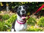Adopt Emily Rose a Pit Bull Terrier, Staffordshire Bull Terrier