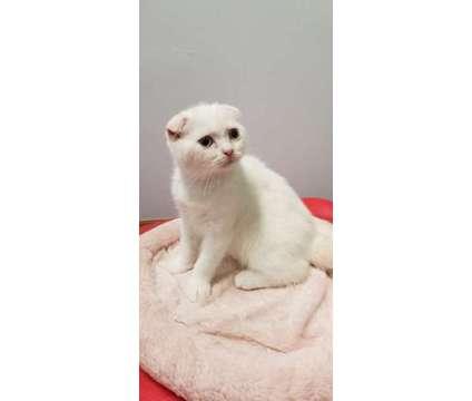 Kittens For Sale is a Blue Male Scottish Fold Kitten in Brooklyn NY