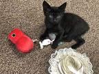 Winky Manx Kitten Female