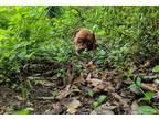 Dogue De Bordeaux Puppy for Sale - Adoption, Rescue