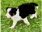 Border Collie Puppy for Sale - Adoption, Rescue