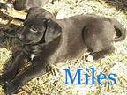 Blues litter 'Miles Pit Bull Terrier Puppy Male