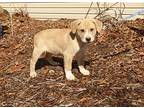 Tulin Great Pyrenees Puppy Male