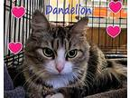 Dandelion Maine Coon Young Female