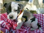 Speckles American Pit Bull Terrier Puppy Female