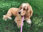 Bentley Cocker Spaniel Puppy Male