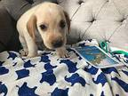 Bermuda German Shorthaired Pointer Puppy Male