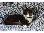 Pongo Domestic Shorthair Young Male