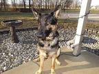 Lincoln German Shepherd Dog Young Male