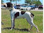 Chopper Pointer Adult Male