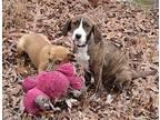 Delta Plott Hound Puppy Female