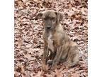 Jethro Plott Hound Puppy Male