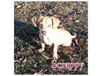Scrappy Chihuahua Puppy Male