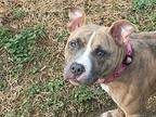 ELSA American Staffordshire Terrier Young Female