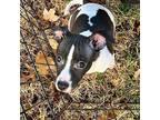 Lila Rat Terrier Puppy Female