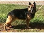 Jax German Shepherd Dog Adult Male