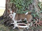 GINGERSNAP Chihuahua Young Female