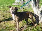 DIESEL American Pit Bull Terrier Young Male