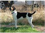 Nora Kate-Courtesy post Treeing Walker Coonhound Adult Female