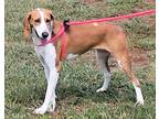 Molly Treeing Walker Coonhound Young Female