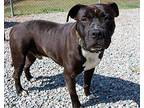 Grimace in Powhatan VA Pit Bull Terrier Young Male