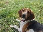 Trooper Treeing Walker Coonhound Young Male