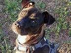 Rylee Pit Bull Terrier Young F