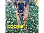Boomer Mastiff Adult Male