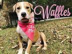 Waffles American Staffordshire Terrier Young Female