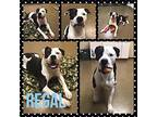 Regal American Bulldog Adult Male