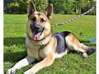 Zen German Shepherd Dog Adult Male