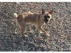 Chuckie French Bulldog Young Male
