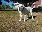 Mack American Bulldog Adult Male