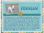 Finnian Chihuahua Young Male
